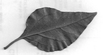Bougainvillea Leaf