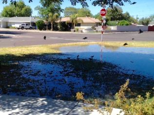 Front Yard Irrigated, enjoyed by birds