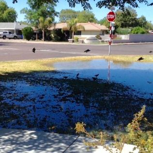 Front Yard Irrigated, enjoyed by birds